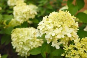 heester, hydrangea panniculata lime light, strijp 01