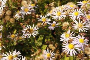 vaste plant, aster ageratoides, vitaal groen, biodiversiteit, bij